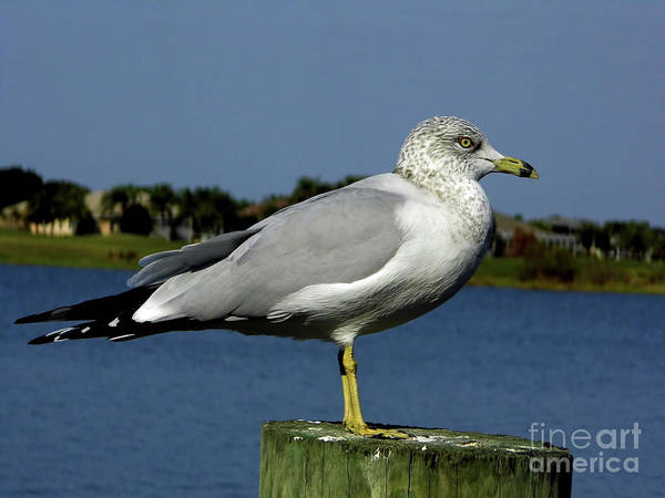 Photograph - Ring Billed Gull Winter Plumage by D Hackett