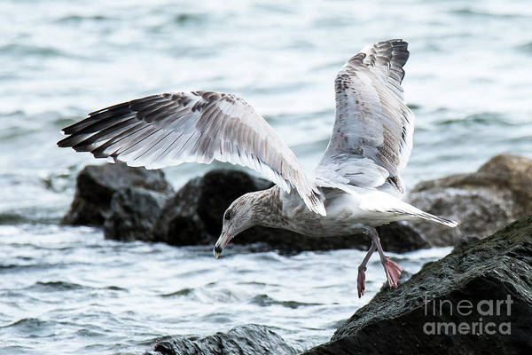Photograph - Ring-billed Seagull Fishing by Michael D Miller