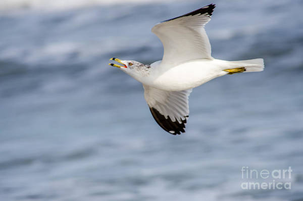 Bif Photograph - Ring-billed Seagull Looking For Attention by Debra Martz