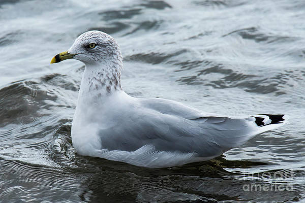 Photograph - Ring-billed Seagull by Michael D Miller
