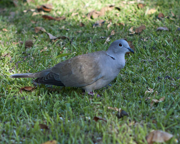Wall Art - Photograph - Ring Neck Dove by Bill Perry