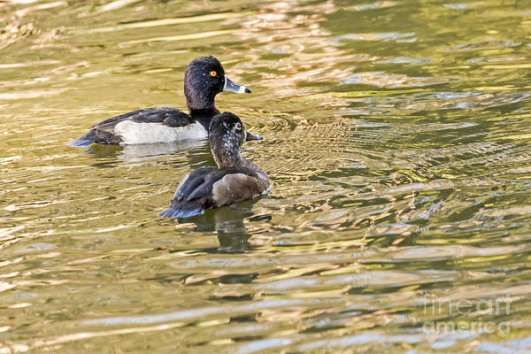 Photograph - Ring-necked Couple by Kate Brown
