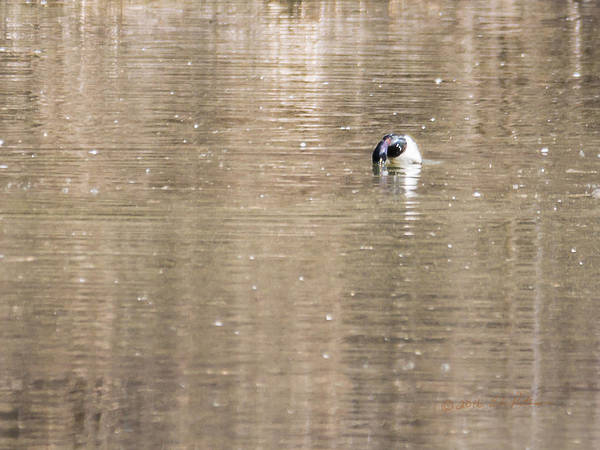 Photograph - Ring-necked Duck Diving by Edward Peterson