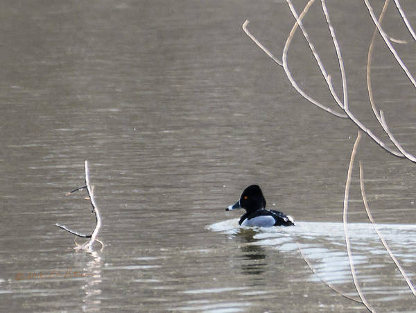 Photograph - Ring-necked Duck Swiming by Edward Peterson