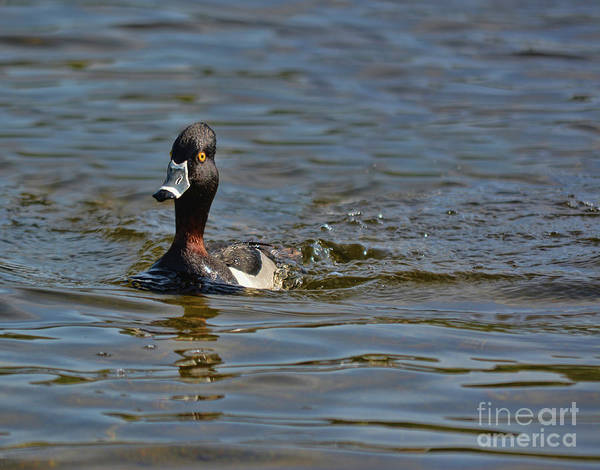 Photograph - Ring Necked Duck by Vivian Martin