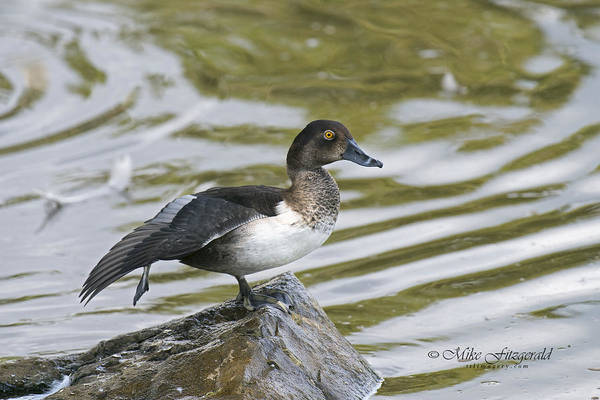 Photograph - Ring-necked by Mike Fitzgerald
