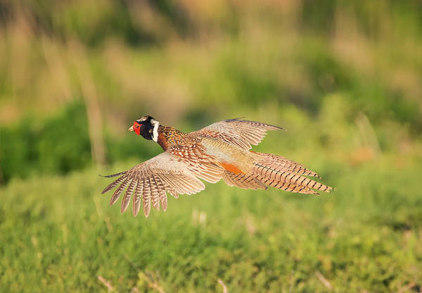 Photograph - Ring Necked Pheasant In Flight by Loree Johnson