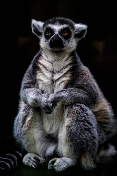 Photograph - Ring Tailed Lemur by Chris Lord