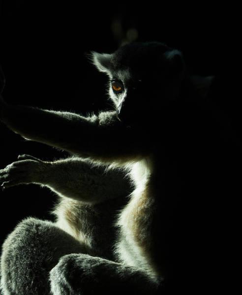 Photograph - Ring Tailed Lemur by Steven Ralser