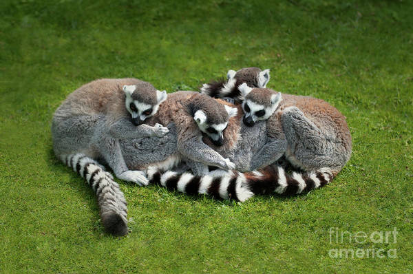 Ring-tailed Wall Art - Photograph - Ring Tailed Lemurs by Amanda Elwell