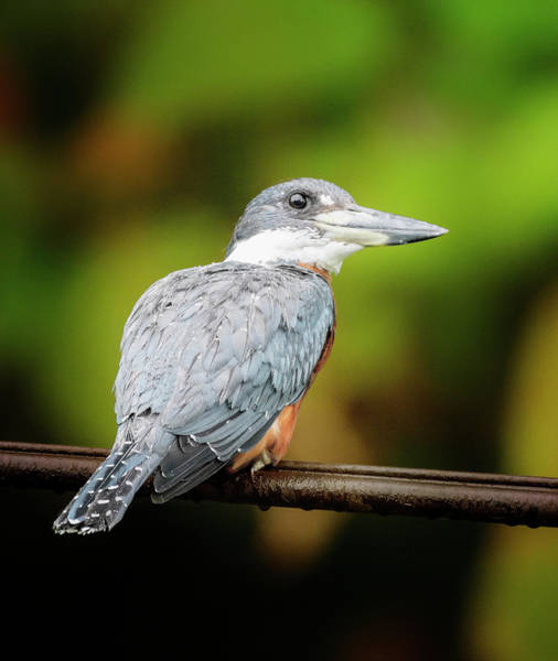 Photograph - Ringed Kingfisher Costa Rica by Joan Carroll