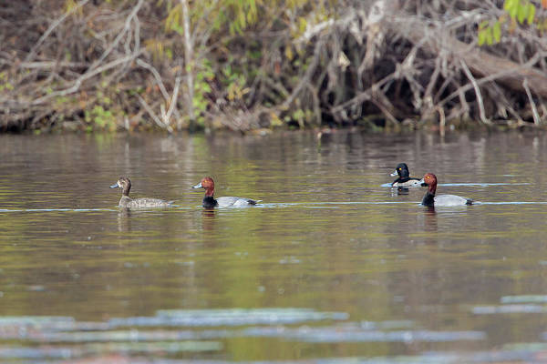 Aythya Americana Wall Art - Photograph - Ringed-necks And Redheads by Ronnie Maum
