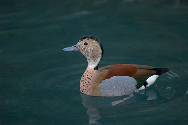 Houston Zoo Photograph - Ringed Teal Duck Callonetta Leucophrys by Joel Sartore