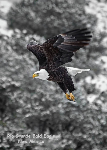 Photograph - Rio Grande Bald Eagle by Britt Runyon
