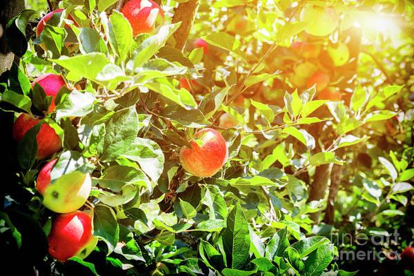 Photograph -  Ripe Summer  Apples  by Ariadna De Raadt