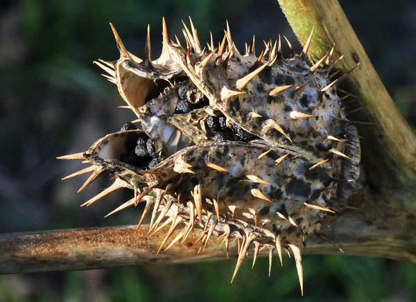 Photograph - Ripe Thorn Apple by William Selander