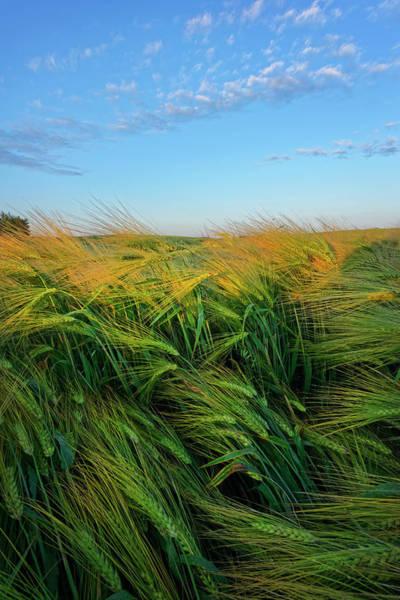 Photograph - Ripening Barley by Dan Jurak