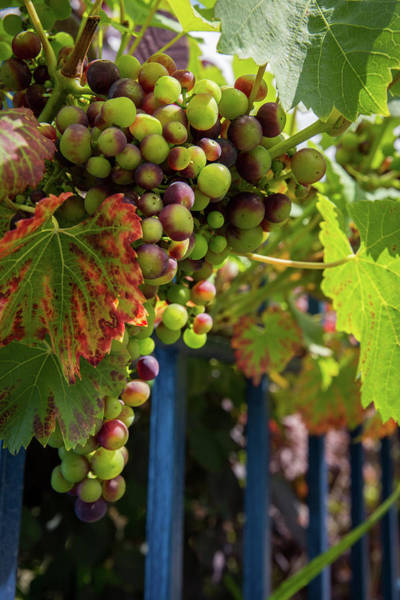 Photograph - Ripening Grapes by Geoff Smith