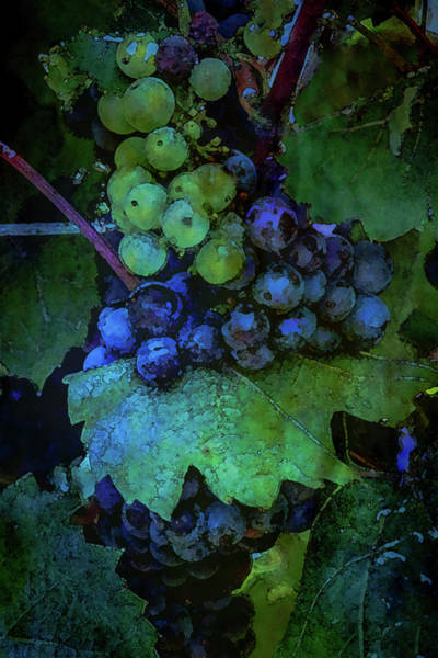 Photograph - Ripening Grapes River Ridge Winery 2688 Dp_2 by Steven Ward
