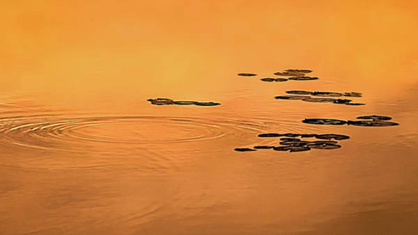 Photograph - Ripples, Pads, And Reflected Sunrise by Robert Mitchell