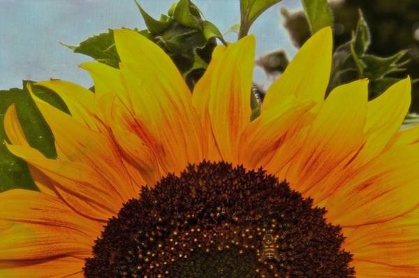 Sunflower Seeds Photograph - Rising Sun by Odd Jeppesen