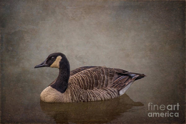 Photograph - River Goose by Larry McMahon