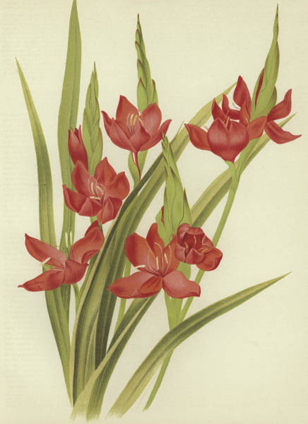 Crimson Painting - River Lily Or Crimson Flag by English School