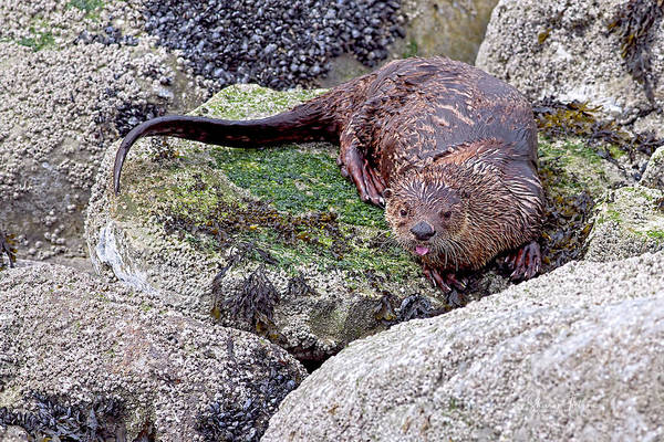 Photograph - River Otter On The Rocks by Sharon Talson