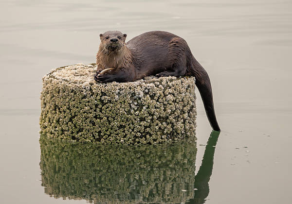Photograph - River Otter With Catch by Loree Johnson