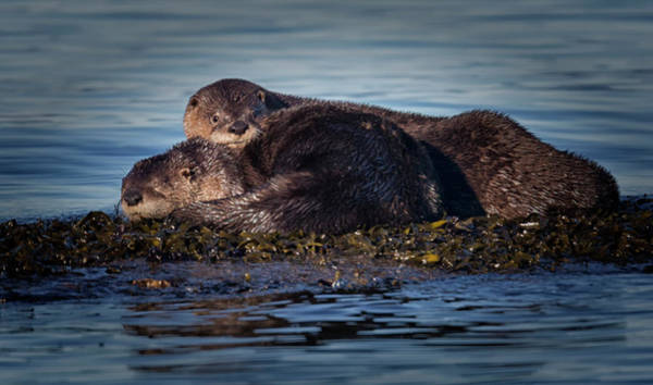 Photograph - River Otters by Randy Hall