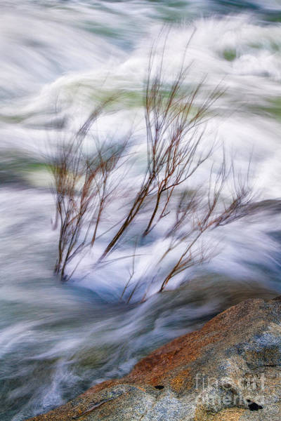 Photograph - River Redbud  by Anthony Bonafede