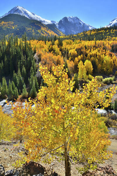 Photograph - Riverside Aspen by Ray Mathis