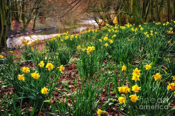 Photograph - Riverside Daffodils In Spring by Martyn Arnold