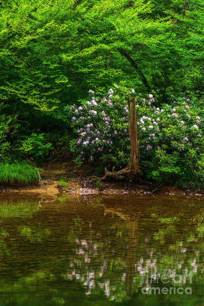 Photograph - Riverside Rhododendron by Thomas R Fletcher