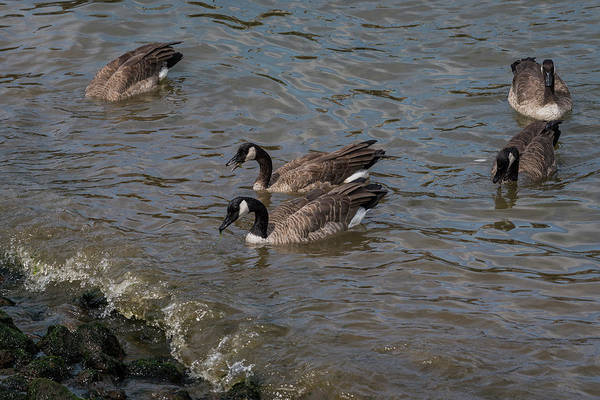 Photograph - Riverwalk Geese by Robert Potts