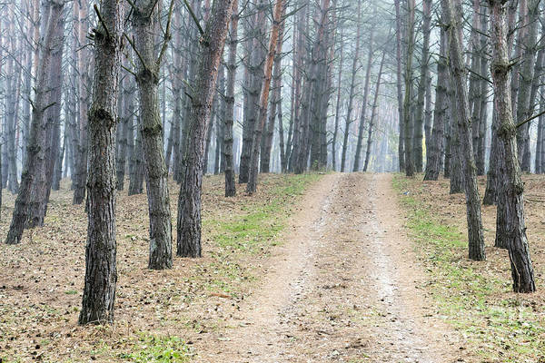Photograph - Road To Pine Forest by Odon Czintos