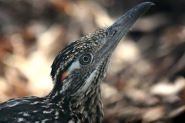 Photograph - Roadrunner Close-up by Sheila Brown
