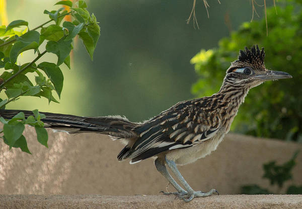 Roadrunner Closeup Art Print