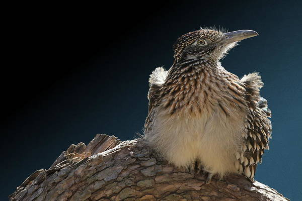 Photograph - Roadrunner On A Log by Debi Dalio