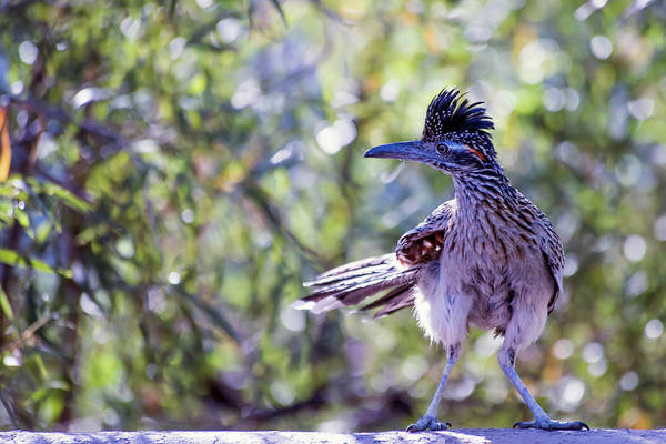 Photograph - Roadrunner On The Wall by Dan McManus