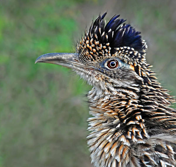 Wall Art - Photograph - Roadrunner Portrait by Dave Mills