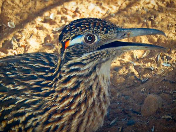 Photograph - Roadrunner Portrait by Judy Kennedy