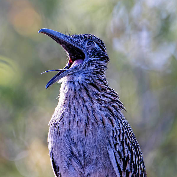 Photograph - Roadrunner Yawn? by Dan McManus