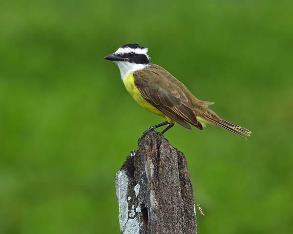 Photograph - Roadside Kiskadee by Tony Beck