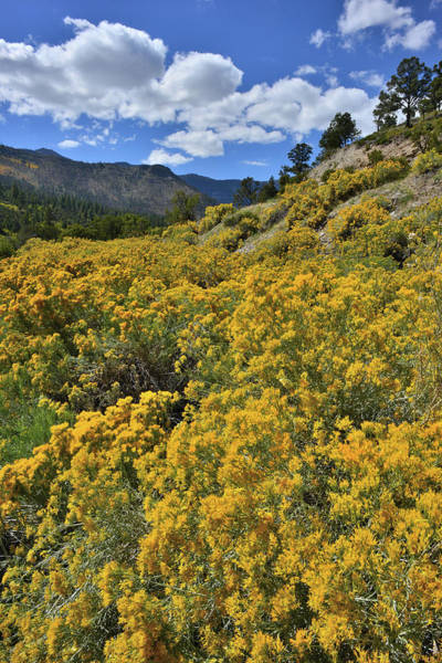 Photograph - Roadside Rabbitbrush On Road Up Mt. Charleston by Ray Mathis
