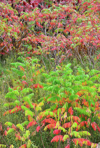 Photograph - Roadside Sumac In Fall by Ray Mathis