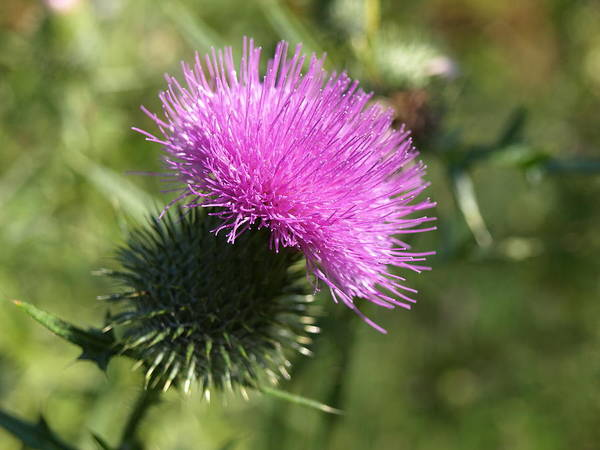 Photograph - Roadside Thistle - 1 by Jeffrey Peterson