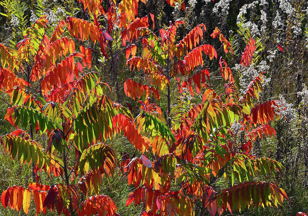 Photograph - Roadside Wisconsin Sumac In Full Color by Ray Mathis