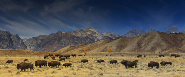 Photograph - Roaming Bison by Mark Kiver