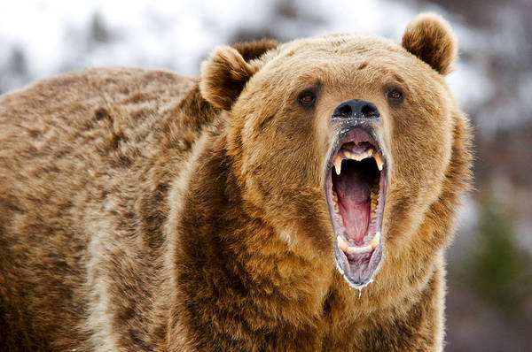 Photograph - Roaring Grizzly Bear by Scott Read